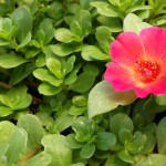 Succulents in Hanging Baskets: Portulaca