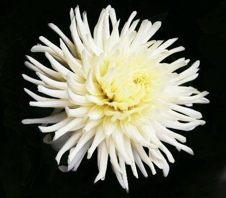 white cactus dahlia, dahlia selection, garden centre