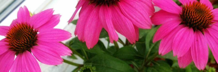 echinacea for sale london, fresh chinacea, chinacea local