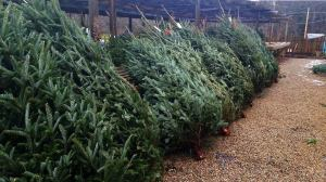 real christmas trees for sale london